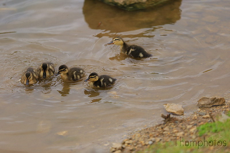 nature animal nature canards duck mère maman mama mother caneton ducky noir et jaune black and yellow