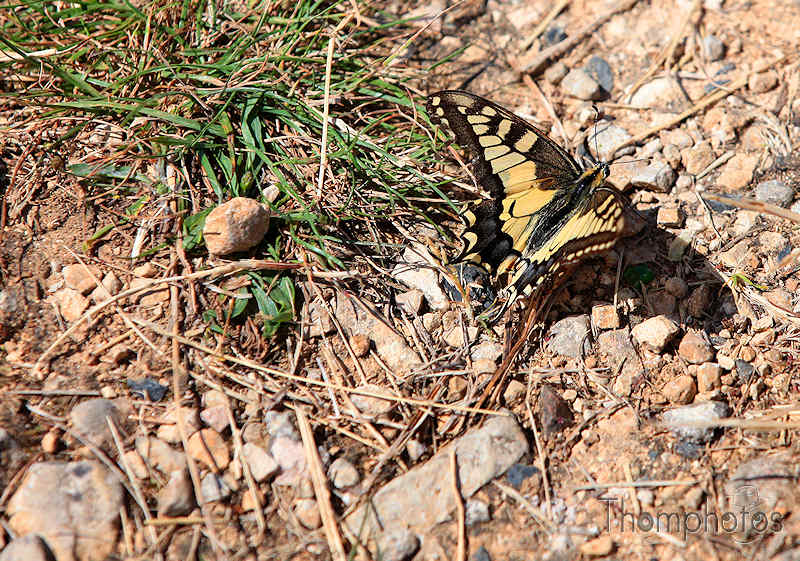 nature animal papillon grand machaon corrèze france sud ouest sol posé