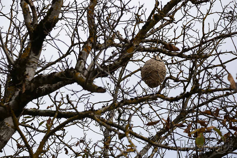 nature animal automne nid nest insect frelon asiatique waspe guêpe papier carton paper wood bois balle ovale ballon ball arbre tree branche