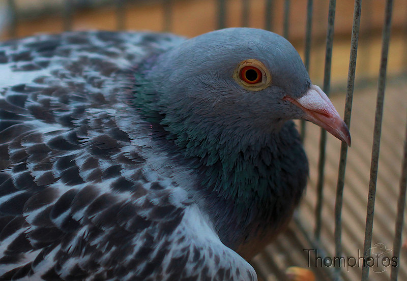 nature animal pigeon oeil gris bleu