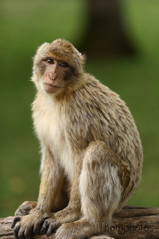 nature animal singe macaque de barbarie monkey rocamadour forêt des singes semi sauvage half wild pose photoshoot shooting perfection buzz
