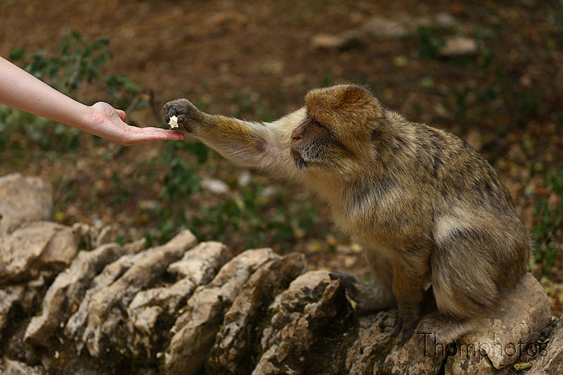 nature animal singe macaque de barbarie monkey rocamadour forêt des singes semi sauvage half wild main humaine human hand pop corn eat manger