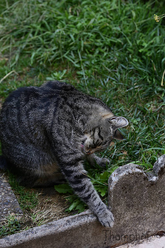 nature animal chat cat meow miaou tibou jardin garden grass herbe verte green soleil sun sunny lécher léchouille lavage nettoyage cleaning slurp slurps