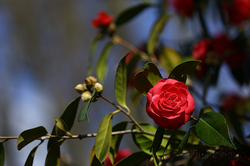 nature printemps fleurs flower spring camelia rouge red rose