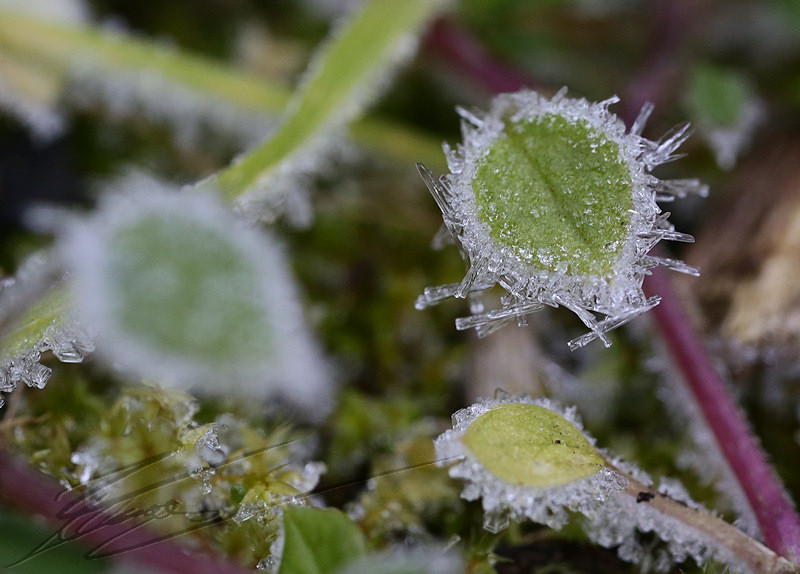 macro nature janvier gel gelée ice glace icy mousse mosse crystal cristaux blanc white herbes herb brin
