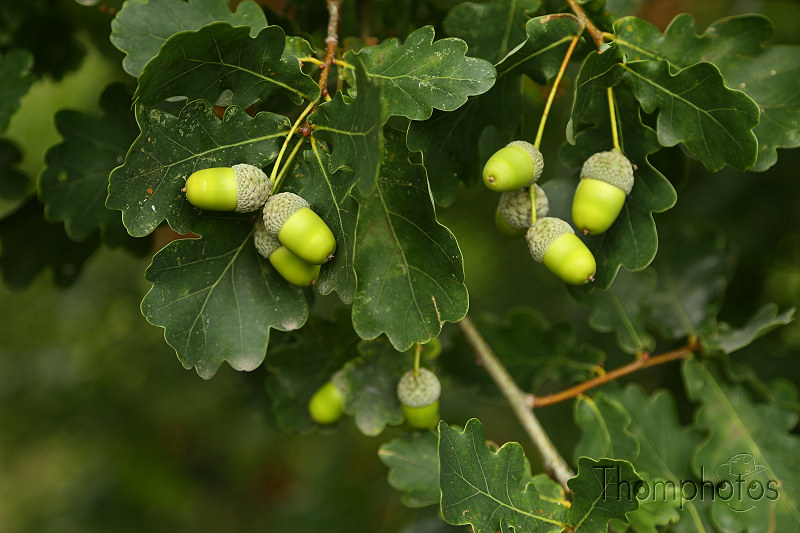 nature arbre tree green vert gland fruit