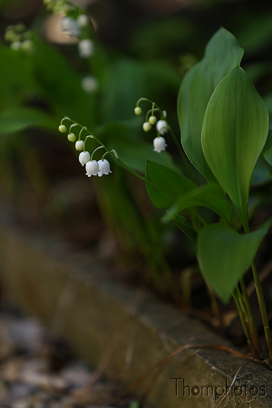 nature printemps fleurs flower spring muguet lili of the valley clochettes blanches white bell mois de mai