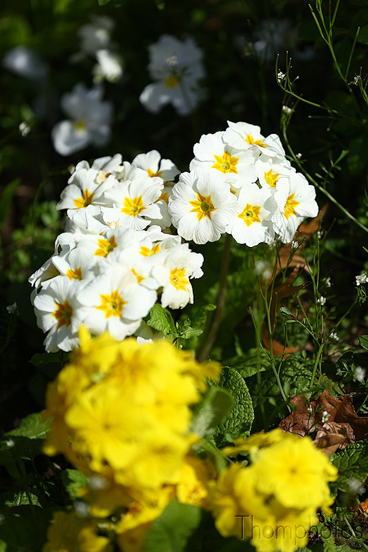 nature printemps fleurs flower spring Primevers soleil sun blanches white jaune yellow
