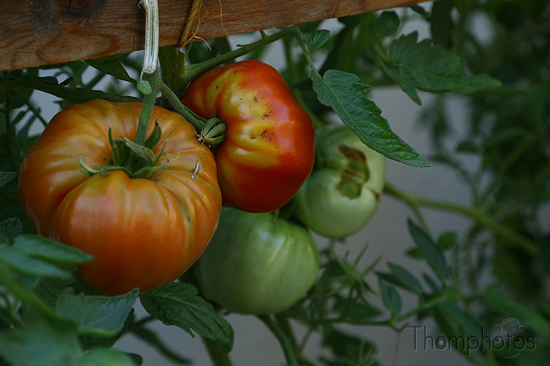 nature jardin garden bio tomates tomatoes rouge red green verte jaune yellow bicolor