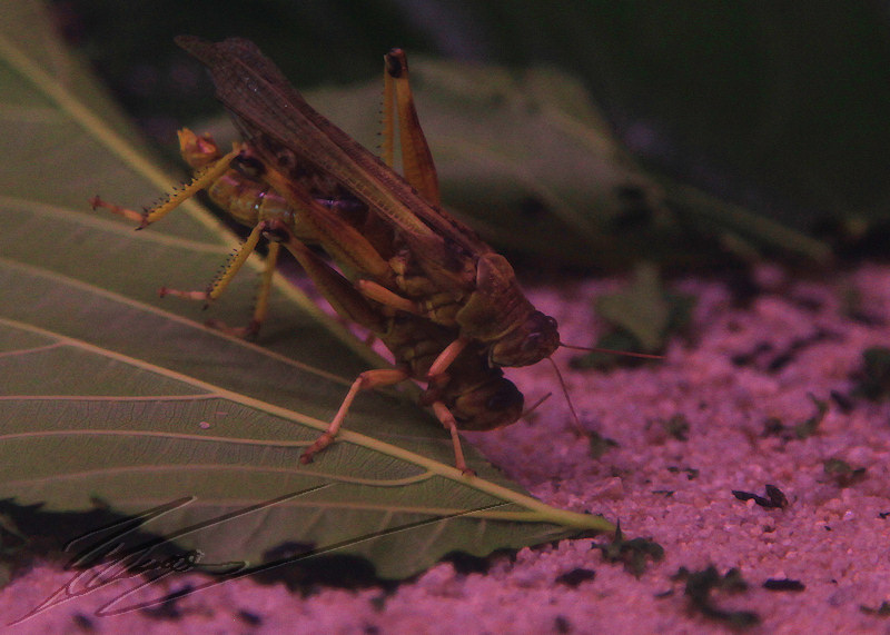 insectopia insecte Crickets reportage