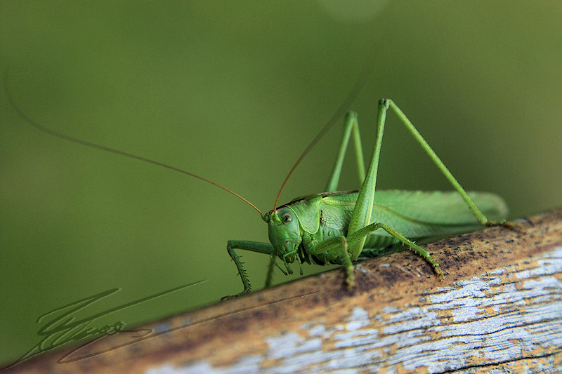 reportage 2011 pays basque france macro nature animalier sauterelle verte grosse énorme grasshopper big giante green