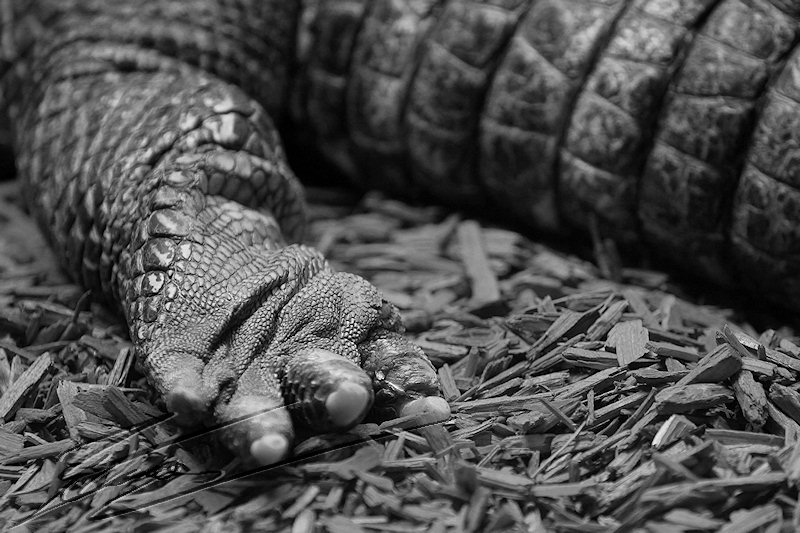 reportage 2014 aquarium périgord noir black dordogne lot crocodile alligator park caïman croco gator patte hand noir et blanc black and white